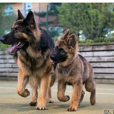 Wicked Training Your German Shepherd Dog Ideas. Mind Blowing Training Your German Shepherd Dog Ideas. German Shepherd Memes, German Shepherd Pictures, German Shepherds, German Shepherd Puppies, Dog Training Methods, Best Dog Training, Cute Puppies, Cute Dogs, Dogs And Puppies