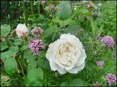 Vintage Rosen Seite Foto Treff Mein sch ner Garten online
