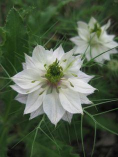 white Nigella (Love in a Mist)