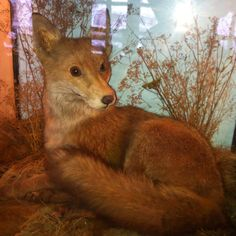 Fox The Fox ! Weird, Fox, Pets, Funny, Animals, Animals And Pets, Animales, Outlander, Animaux