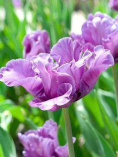 Tulip Blue Parrot-late season bloom