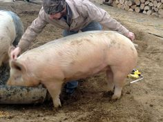 "~How to Estimate the Weight of a Live Hog~ | Reformation Acres ""Heart Girth Squared X Length Divided by 400"""