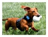 Hug-A-Dog Harness® In Fabric & Mesh, Our Popular Mesh-Based Harness Gets Fashionable With A Solid Fabric Overlay,  Dachshund Products For Doxie Lovers
