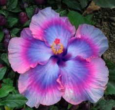 Dinnerplate Hibiscus - All about Bling in the Garden!  seeds here