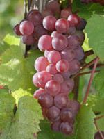 Hardy grapes for Northern Gardens
