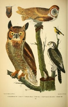 Great Horned Owl and others. American ornithology; or, The natural history of the birds of the United States v.2. London,Cassell, Petter & Galpin[187-] Biodiversitylibrary. Biodivlibrary. BHL. Biodiversity Heritage Library
