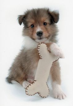 Sheltie pup with his toy bone