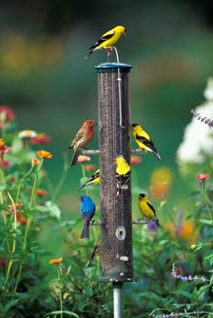 Goldfinches, house finch, indigo bunting  So pretty all together. Blend with flowers.