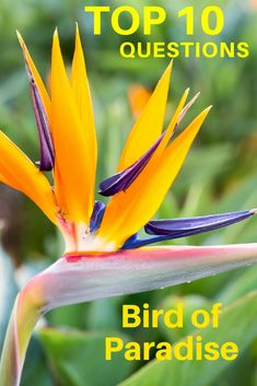Top 10 Questions About Bird of Paradise Plants - Gardening Know How's Blog