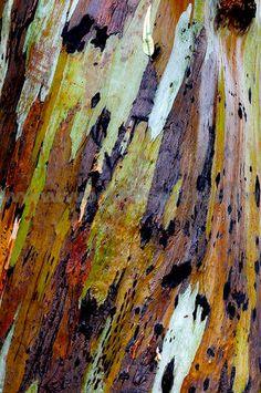 eucalyptus tree, peeling bark