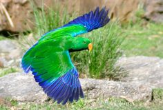 Eclectus Parrot in the air...look at that blue