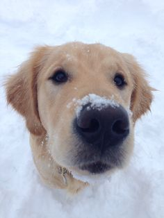 Golden retriever in the snow.