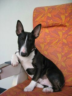 """I don't always tear around like I have super powers. But when I do you know why Superman picked my breed as a companion."" (My bull terrier Davis. Mini Bull Terriers, Miniature Bull Terrier, English Bull Terriers, Bull Terrier Dog, I Love Dogs, Cute Dogs, Terrier Breeds, Bully Dog, Wild Dogs"