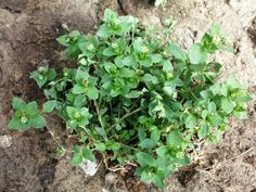 Weed Wisdom: What 10 Common Weeds Are Trying to Tell You: Gardenista