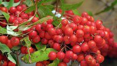 Jeřabinová marmeláda — Recepty — Herbář — Česká televize Kimchi, Fruit, Vegetables, Food, Essen, Vegetable Recipes, Meals, Yemek, Veggies