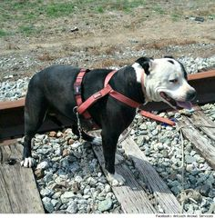 Stolen Pit Bull Found Tied to Train Tracks