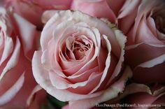 Пол Рикард (Paul Ricard) / Фея розы
