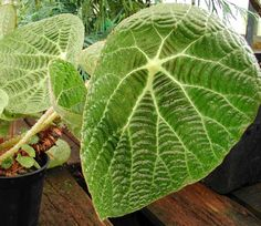 """Begonia paulensis - the """"Spider Web Begonia"""" - is one of the most handsome Begonia species!  This marvel of nature features large, ribbed leaves with a concentric, cobweb-like pattern.  Its fascinating flowers are truly bizarre - a picture of them is here.  This native of Brazil is difficult to propagate, which is why it is pretty uncommon in cultivation.  Begonia paulensis - """"Spider web Begonia"""""""