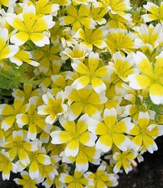 """Limananthes douglasii Meadow Foam - $4.95, Edger, Clay Tolerant, 10""""h x 30"""" across, weed-suppressing mat,     Plant at front of bed?"""
