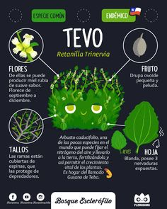 Tevo , Retanilla Trinervia #infografia #infographic #flora #floranima #bosqueesclerofilo #esclerofilo #sclerophyll #tevo #trevu