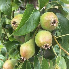 By kleintiereonline.de. . Stand der Kernobstkulturen: Birne. Diesen Birnensäulenbaum haben wir als kleine Pflanze gesetzt. In den letzten zwei Jahren hat er die ersten Früchte gebracht. Sie sind gut; aber etwas zu gross. In diesem Jahr lassen wir etwas mehr Früchte hängen; auch in der Absicht, dass die Früchte etwas kleiner werden. . #birne #birnbaum #birnbaumkultur #früchtebehang #säulenbaum #füchteentwickkung #dörrobst #fruchtsalat #rumtopf. . Welche Idealgrösse bei Birnen erachten Sie als… Pear, Apple, Fruit, Food, Pears, Plants, Apple Fruit, Essen, Meals