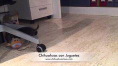 chihuahuas con juguetes