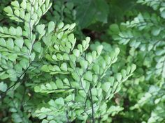 Adiantum venustum (Himalayan Maidenhair) Buy Plants, Shade Plants, Cool Plants, Evergreen Ferns, Deer Garden, Fern Plant, Gardening Magazines, Perfect Plants, Shade Perennials