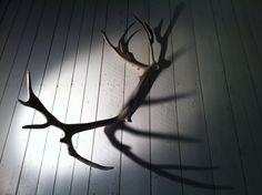 Raindeer antlers