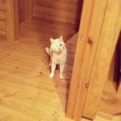 #仁王立ち で#ウィンク♡  #wink  #猫 #ねこ #愛猫 #白猫 #ニャンコ #にゃんこ #ねこ部 #cat #lovecat #catlove #catstagram #kitty #whitecat #kawaii #ねこすたぐらむ #にゃんすたぐらむ #猫ばか #元野良猫 #溺愛 #猫中心 #猫好き #みんねこ