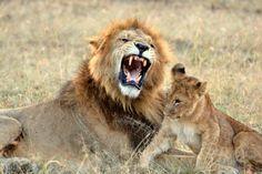 Lions at Encounter Mara, Kenya