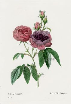 Rosa gallica Rose from Les Roses by Pierre Joseph Redouté, published in Paris 1828. Antique botanical rose illustration.