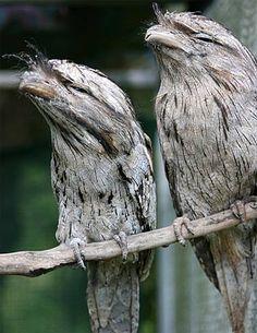 two tawny frogmouths perched/ parecem com as corujas, também possuem hábitos noturnos , mas não possuem os olhos grandes  , cabeça e pés de tamanho e formato diferente das corujas.