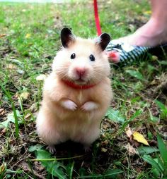 It's a hamster. ON A LEASH. Cute, but a really bad idea. Are you really quick enough to fight off a cat???