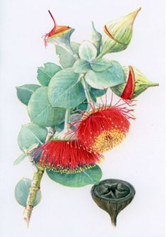 Botanical Art Society of Australia - Helen Fitzgerald Australian Wildflowers, Australian Native Flowers, Australian Artists, Botanical Flowers, Botanical Prints, Art Floral, Flower Images, Flower Art, Illustration Blume