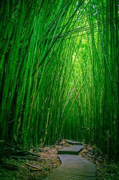 What a green boomer travel adventure in Hawaii this would be: Bamboo Forest, Haleakala National Park, Maui, Hawaii by ground*floor