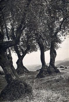 Ελιές, κοντά στον Πλαταμώνα