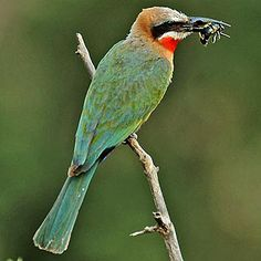 Merops bullockoides (White-fronted bee-eater)