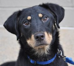 Morgan is an adoptable Rottweiler Dog in Atlanta, GA.   Hi, my name is Morgan, and I am a very sweet boy who loves other dogs and all people, including children. I am around 10 months old and am well ...