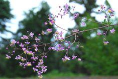Thalictrum Rochebrunianum, Meadow Rue, Lavender Mist, Giant Meadow Rue, lavender flowers, purple flowers, see through plant, perennial, perennial plant, perennials