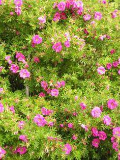 Rosa nitida 'Defender' Buskros Skuggtålig 90-120 cm, 3 st /meter sommar Zon 7 Fritidsgrund, utsatta ställen, nypon