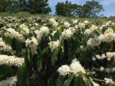 coffee blooms