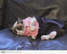 Grumpy Cat hates getting dressed up.