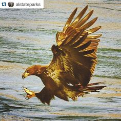 #Repost @alstateparks with @repostapp.  Want to do something cool this weekend?!?! Visit @lakegvillesp for #eagleawareness2016. This is the 31st year of cool sights and professional presentations. Check out the overnight packages to make it easy. See you there! @visitnorthal @marshallcoal @alabamatravel @bhamaudubon @alabamawildlifecenter