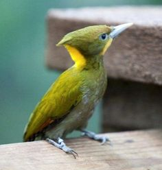Yellow Woodpecker
