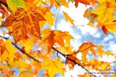 Liquid-amber leaves