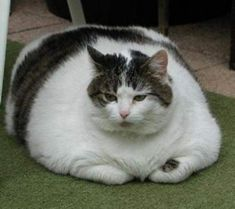 More Than Half of U.S. Pets Obese, Study Says #cathealth - Know more about cat Health at Catsincare.com!