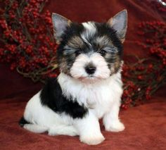 """Explore our internet site for additional information on """"yorkshire terrier puppies"""". It is actually an outstanding spot to read more. Yorkshire Terrier Haircut, Yorkshire Terrier Puppies, Terrier Dogs, Pitbull Terrier, Biewer Yorkshire, Yorkie Puppy For Sale, Yorkie Dogs, Pet Dogs, Bulldog Breeds"""