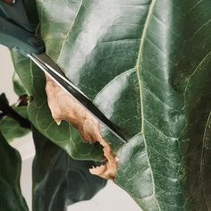 As Fiddle Leaf Figs age, it's natural for edges to brown or occasionally dry. You can keep your plants looking fresh by giving them an artistic trim. Fig Plant Indoor, Plants Indoor, Green Garden, Herb Garden, Plant Delivery, Fiddle Leaf Fig, Natural Curves, Natural Shapes, Plant Care