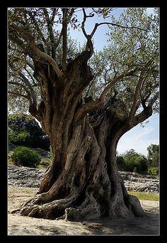 Old olive tree.