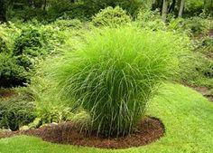 Miscanthus sinensis (Grass -- Maiden Grass)